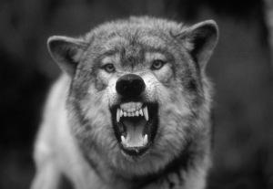 Snarling-Grey-wolf