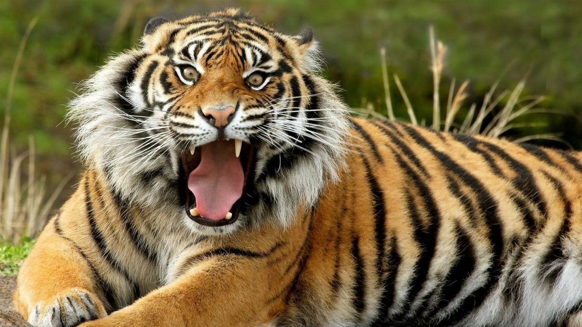 tiger_face_teeth_anger_39904_3840x2160