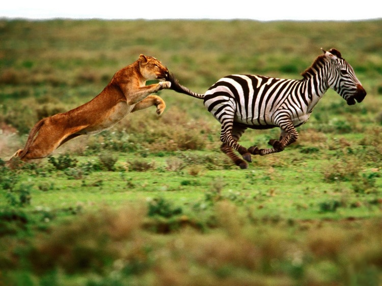 lion-tarket-zebra-wallpaper